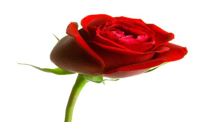 وردة النسيان 32