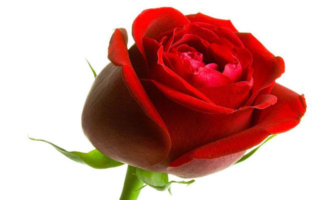وردة النسيان 36
