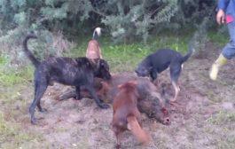 القضاء على ما لا يقل عن 107 خنزيرا بريا بمنطقة القرارة بولاية غرداية