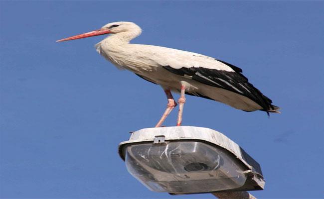 طائر اللقلق يقطع التيار الكهربائي عن 5900 منزب بباتنة !