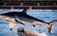 سباق بين سباح وقرش أبيض في مسبح أولمبي...الفائز؟