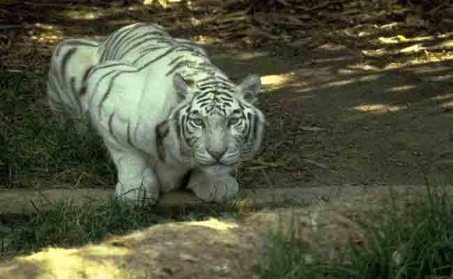 نمر أبيض يلتهم يد طفلة بحديقة التسلية