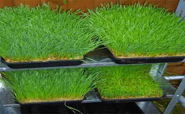 هل عشبة القمح مفيدة كما يتمّ الترويج لها؟