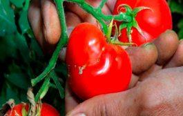 ما هي فوائد عصير الطماطم لطفلكم الرضيع...؟
