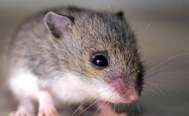 هل يمكن علاج فوبيا الفئران...؟