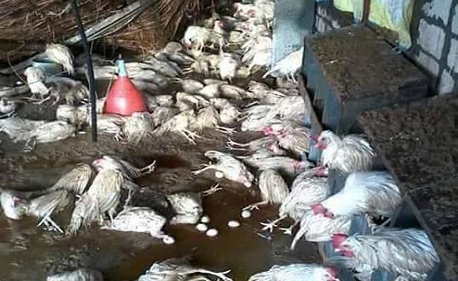 خطير إنفلونزا الطيور تتفشى في الجزائر بشكل رهيب